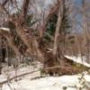 ハルニレの古木:開拓生活研究所