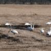 白鳥の北帰行、渡り鳥の羽休め