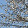 キタコブシの花:開拓生活研究所ブログ