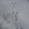 「春の足音」ウサギの足跡