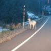 白い鹿、エゾシカのアルビノ