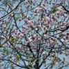 エゾヤマザクラの花:開拓生活研究所ブログ