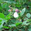 萩の花に集まるモンシロチョウ:開拓生活研究所ブログ