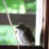 キバシリの幼鳥:開拓生活研究所ブログ