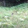 阿寒の森のクマゲラ:開拓生活研究所ブログ